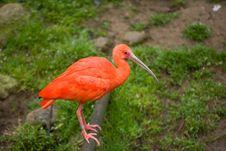 Free Scarlet Ibis Royalty Free Stock Image - 8654036