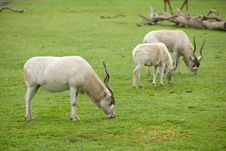 Free Gemsbok Antelope In Naturan Enviroment Royalty Free Stock Image - 8654116