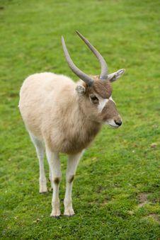 Free Kudu Antelope Royalty Free Stock Photography - 8654177