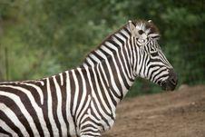 Free Zebra Stock Photos - 8654483