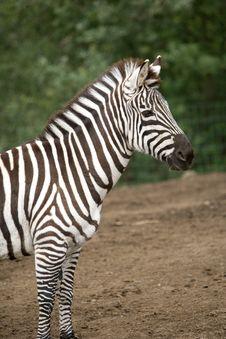 Free Zebra Stock Image - 8654521