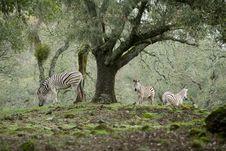 Free Zebra Royalty Free Stock Photos - 8654578