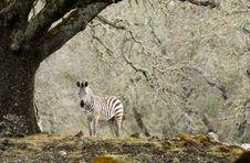 Free Zebra Royalty Free Stock Photography - 8654677