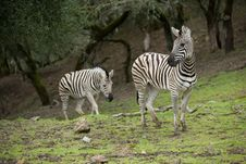 Zebra In The Wild Royalty Free Stock Images