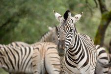 Free Zebra In The Wild Royalty Free Stock Image - 8655066