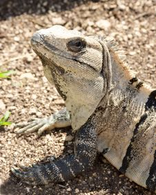 Iguana Portrait Stock Images