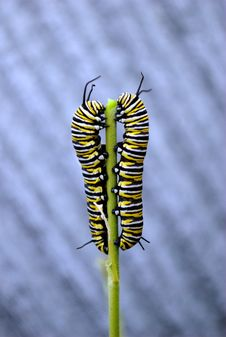 Monarch Caterpillars Stock Photo