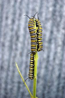 Monarch Caterpillars Royalty Free Stock Photo
