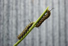 Monarch Caterpillars Royalty Free Stock Photography
