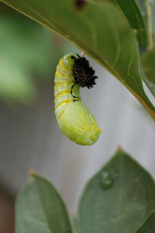 Free Monarch Chrysalis Stock Photos - 8656473