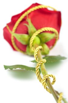 Free Beautiful Red Rose Isolated Stock Images - 8659424