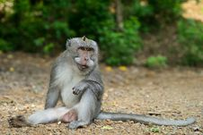Free Monkey Showing Fangs Royalty Free Stock Photography - 86543337