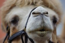 Free Camel Muzzle Royalty Free Stock Photography - 86574317