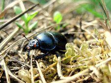 Free Black June Bug Stock Image - 86576941