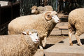 Free Sheeps And Ram Stock Photos - 8661553