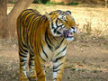 Free Hungry Panting Tiger Royalty Free Stock Images - 8662059