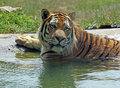 Free Bengal Tiger Stock Photo - 8664680