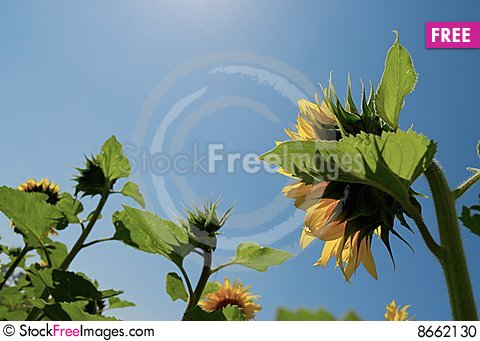 Free Sunflower With Blue Sky Stock Photo - 8662130