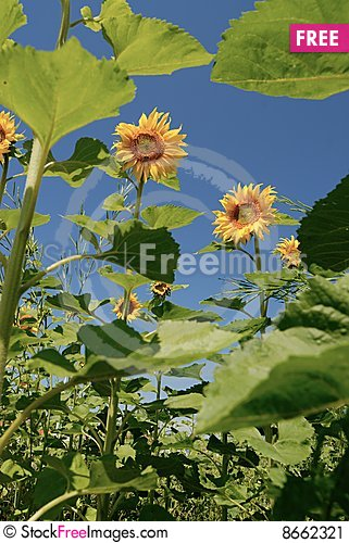 Free Sunflowers Under Sunshine Stock Image - 8662321