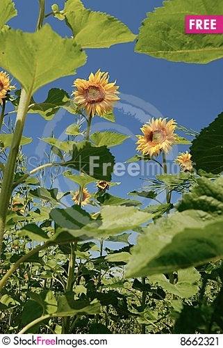 Free Sunflowers Under Sunshine Stock Image - 8662321