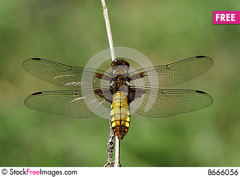Free Dragonfly Broad-bodied Chaser - Libellula Depressa Royalty Free Stock Image - 8666056