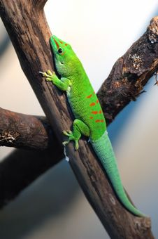 Free Lizard Royalty Free Stock Photography - 8660617