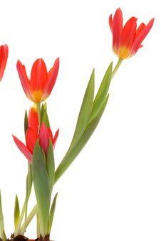 Free Red Tulips. Stock Photos - 8660793