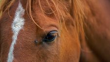 A Closeup Portrait Of The Head Brown Horse Stock Photo