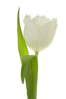 Free White Tulip. Stock Images - 8661004