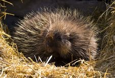 Free Portrait Of A Porcupine Stock Images - 8661744