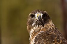 Free Portrait Of A Red-Tailed Hawk (Buteo Jamaicensis) Royalty Free Stock Images - 8661769