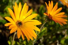 Free Yellow Daisies Stock Photography - 8662232
