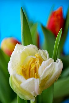 Free Tulips Royalty Free Stock Photos - 8664128