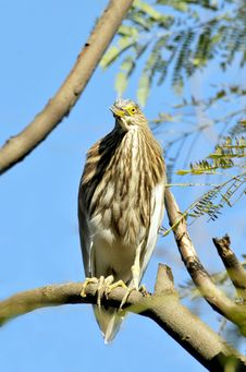 Free Black Crowned Heron Stock Photo - 8664370