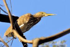 Free Black Crowned Heron Stock Image - 8664401