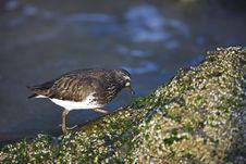 Free Black Turnstone (Arenaria Melanocephala) Stock Images - 8664514