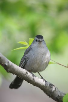 Gray Catbird (Dumetella Carolinensis Carolinensis) Royalty Free Stock Photos