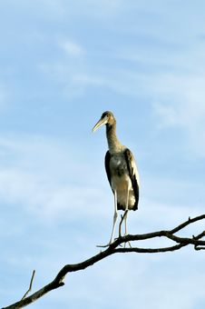 Free Painted Stork Royalty Free Stock Photos - 8664598