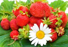 Free Many Ripe Strawberries And Chamomile Royalty Free Stock Photos - 8665398