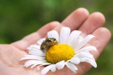 Free Frog On A Camomile Royalty Free Stock Photography - 8665667