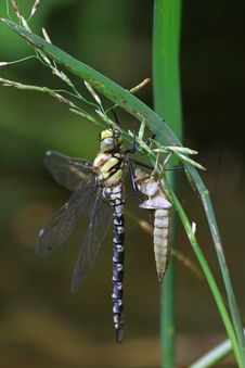 Dragonfly Emerging - Aeshna Cyanea Stock Images