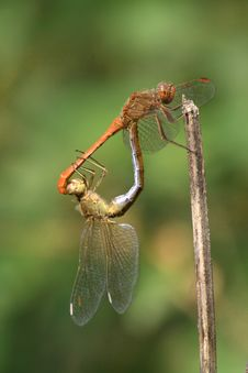 Free Dragonflies - Southern Darter Pair Stock Photo - 8665940