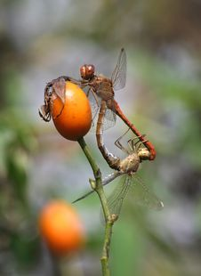 Dragonflies Mating On Wild Rose Stock Photo