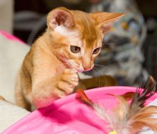 Free Abyssinian Kitten Stock Images - 8666954