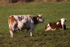 Free Cows Royalty Free Stock Photography - 8667017