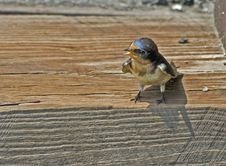 Free Begging Barn Swallow Royalty Free Stock Photo - 8667565