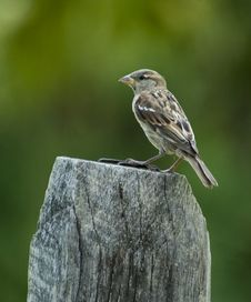 Free Brown Bird On Fence Post Royalty Free Stock Images - 8667589