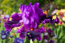 Free Iris On Garden Background Royalty Free Stock Image - 8668016