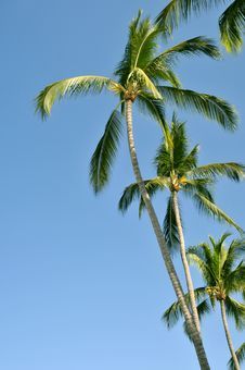 Free Group Of Palm Trees Against The Sky Royalty Free Stock Photo - 8669235