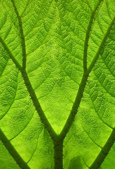 Free Leaf Veins Stock Photography - 8669582